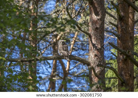 The Ural owl (Strix uralensis)