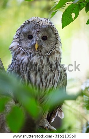 The Ural Owl (Strix uralensis) in the forest - stock photo
