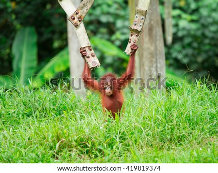 The urangutan in the zoo,Sabah,Malaysia - stock photo
