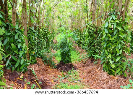The Vanilla flower plantation. Reunion Island, agriculture in tropical climate. - stock photo