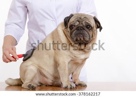 the vet combed wool dog pug