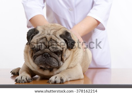 the vet examines the dog pug