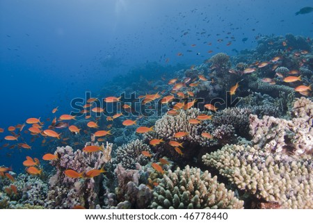 The vibrant orange of a school Lyretail anthias (Pseudanthias squamipinnis) over a tropical coral reef. Red Sea, Egypt.