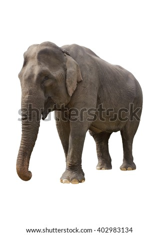 The Vietnamese elephant on the isolated background