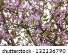 The view of spring.Bauhinia variegata--a beautiful flower - stock photo