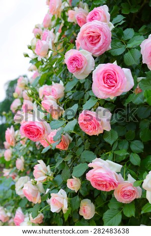 The vine pink roses in garden - stock photo