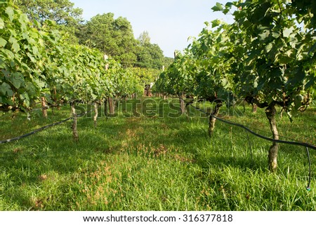 The vineyards on the slopes of fresh morning air .