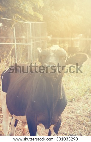 The vintage style of Cow eats grass in a field