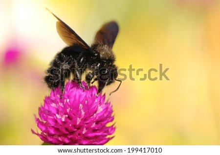 The violet carpenter bee, Indian Bhanvra (Xylocopa violacea) with enough copy space for your text on the vivid blurry background