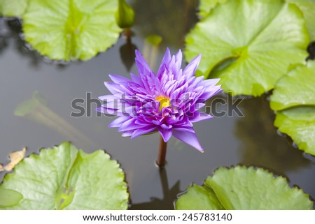 The violet Lotus Flower - stock photo