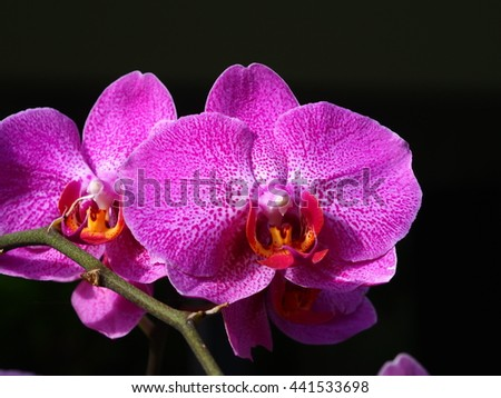 The violet orchid closeup on the black background