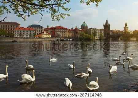 The Vltava river, The Vltava river, Charles bridge and white swans in Prague, Czech Republic in Prague, Czech Republic - stock photo