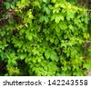 The wall is completely hidden overgrown with vines of Virginia creeper  - stock photo