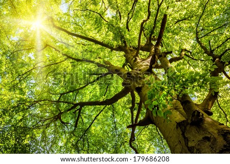 The warm spring sun shining through the treetop of an impressive old beech tree - stock photo