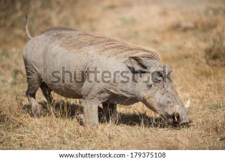 The warthog or common warthog (Phacochoerus africanus) in Serengeti, Tanzania. - stock photo