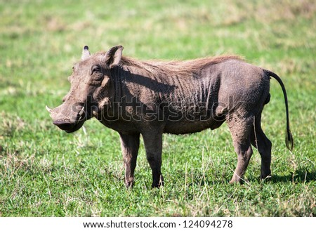 The warthog portrait on savannah in the Ngorongoro crater, Tanzania, Africa.