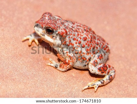 The warty, bumpy Red-spotted Toad, Anaxyrus punctatus   - stock photo
