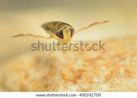 The water boatman (Sigara lateralis) captured under water. The water-dwelling insect close up on the stone. - stock photo
