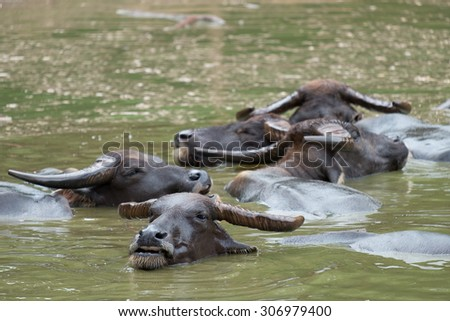 The water buffalo or domestic Asian water buffalo (Bubalus bubalis)