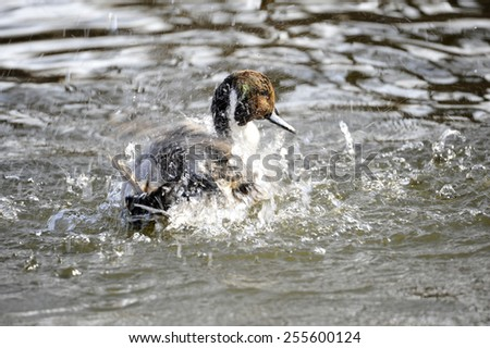 The water swimming duck