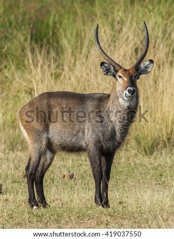 The waterbuck (Kobus ellipsiprymnus). Waterbuck African Wildlife Background Nature Portrait of Life. Close up.  Kenya. Africa - stock photo