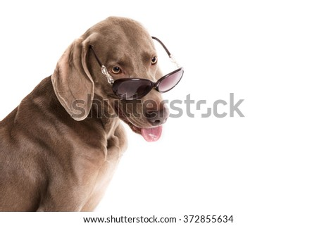 the Weimaraner breed dog with sunglasses isolated on white background