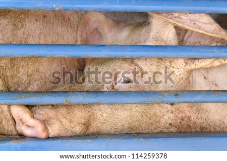 The Welfare of Pigs During Transport - stock photo