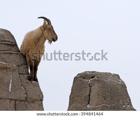 The West Caucasian Tur (Capra caucasica) perched on a rocky ledge.  - stock photo