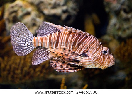 the West Indian Ocean coelacanth,  it is the most endangered order of animals in the world. - stock photo