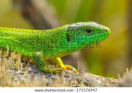 The western green lizard (Lacerta bilineata) is a wall lizard of the Lacertidae family.