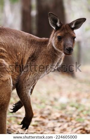 The western grey kangaroo (Macropus fuliginosus) - stock photo
