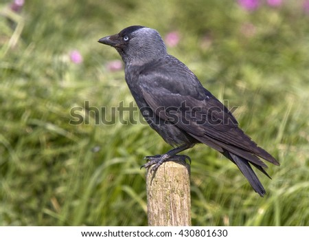 The western jackdaw (Corvus monedula), is a passerine bird in the crow family.