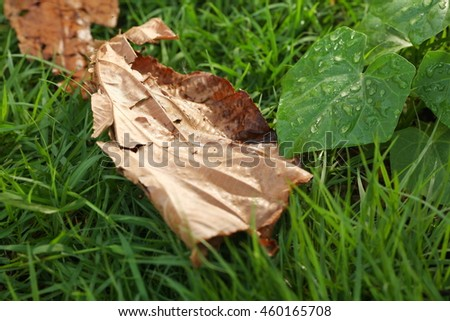 The wet green color leaf and dry leaf represent the botany and plant concept related idea. - stock photo