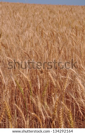 The Wheat Field - stock photo