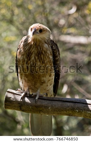 the whistling kite is perched on a branch