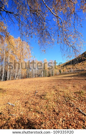 The white birch forest in Xinjiang China