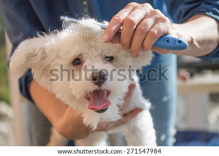 The white Bolognese dog  is in dog salon. Dog is combing by female groomer - stock photo