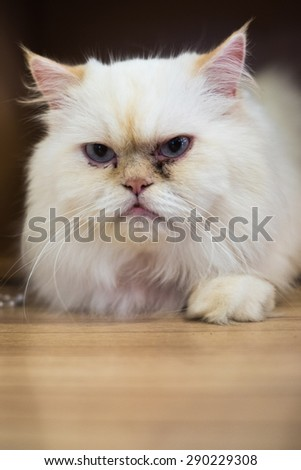 The white cat on serious emotion  - stock photo