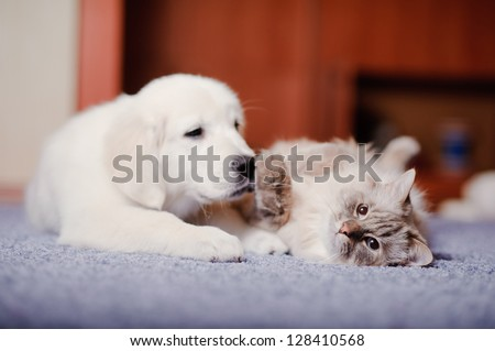 The white dog plays with red cat - stock photo