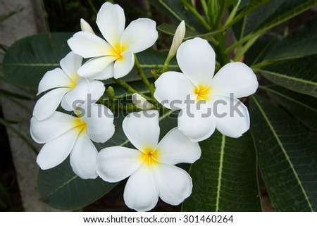 The white frangipani with leaves - stock photo