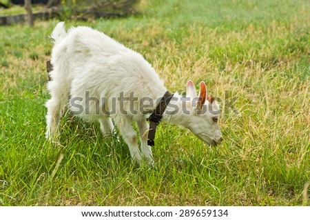 The white goat eating grass on nature