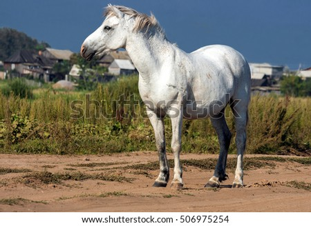 the white horse on a free pasture looks afar