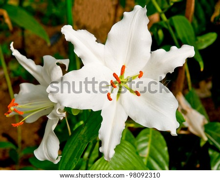 The White lilly  background texture - stock photo