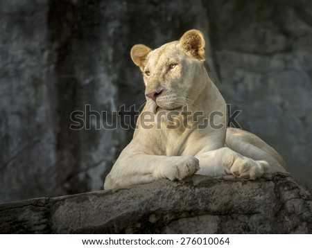 The White Lion. - stock photo