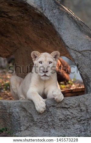The white lion Panthera leo krugeri is occasionally found in wildlife reserves in South Africa. - stock photo