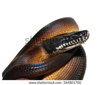 The white-lipped or D'Albert's water python, Leiopython albertisii, isolated on white background - stock photo