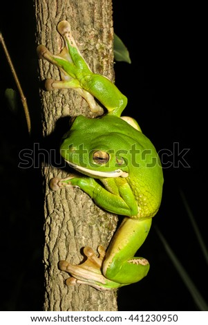 The white-lipped tree frog, also known as the giant tree frog, is the world's largest tree frog. This species is native to the rainforests of Northern Queensland, New Guinea, the Bismarck Islands. - stock photo