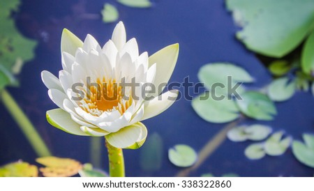 The white lotus flower on green leaf background - stock photo