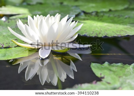 the white lotus or water lilies reflective with the water like the mirror in the pond.White water lilies in the pond with the reflection.Beautiful water lilies or lotus reflect with water in the pond. - stock photo