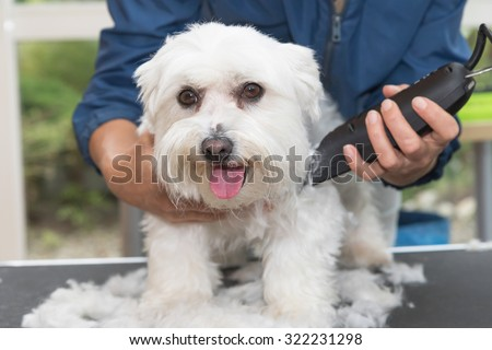 The white Maltese dog is trimming by electric razor by female groomer. Dog is looking to the camera. - stock photo